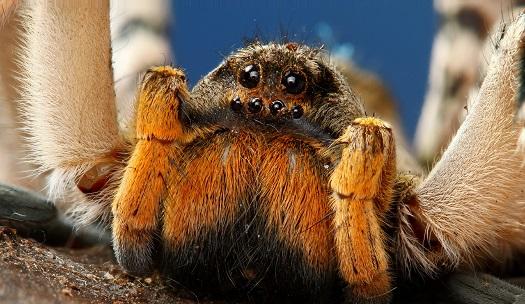 tarantula hunting