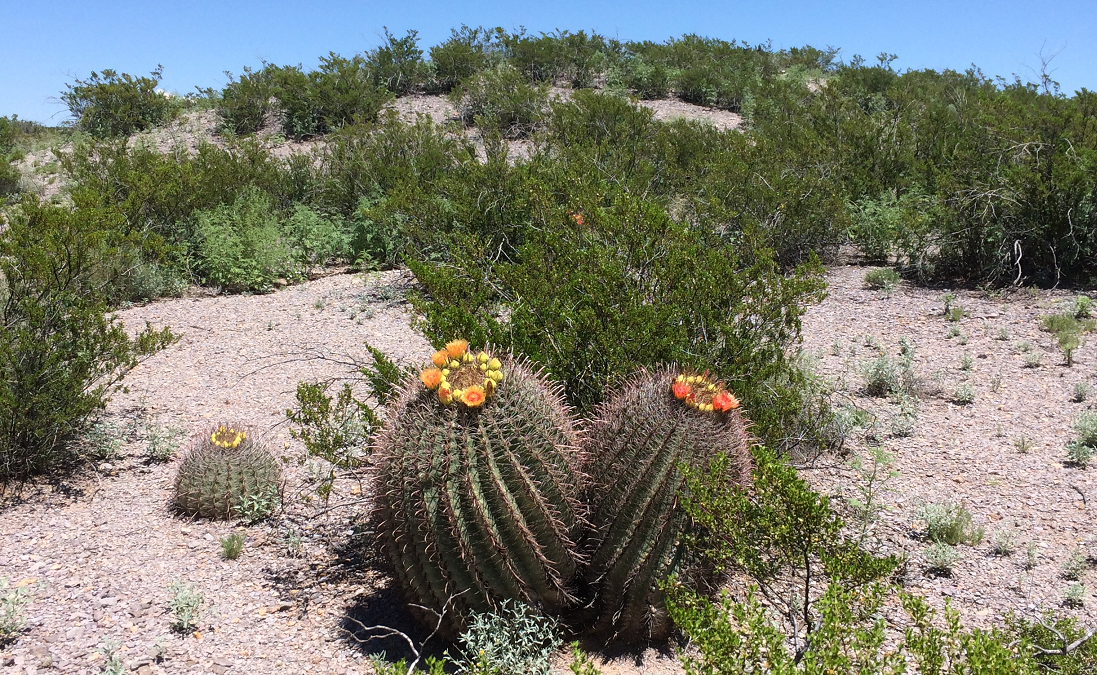 barrel-cactus-in-bloom