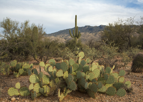 Saguaro and prickly pear cacti in Arizona's Saguaro National Park